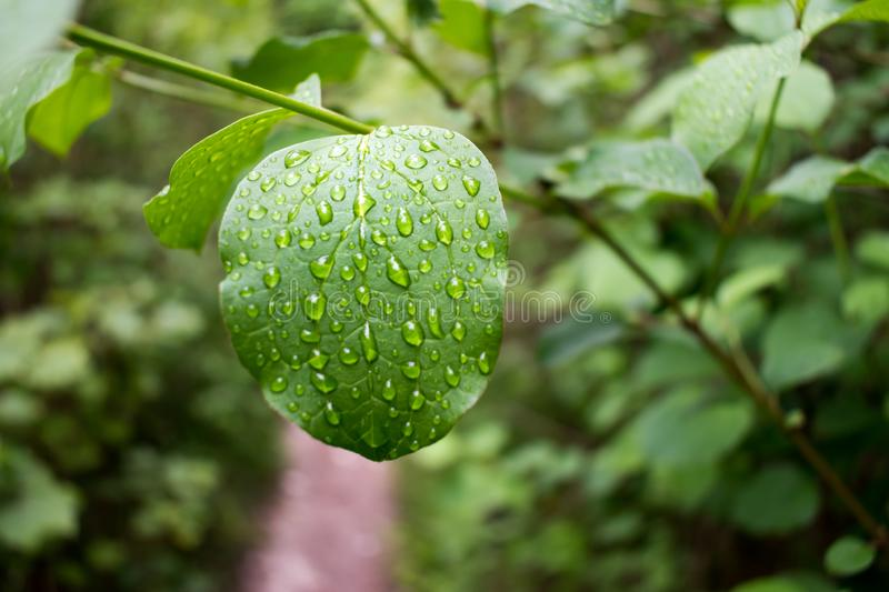 Water drops on the surface of a leaf. The rain drops stuck to the leaf follow the veins within the leaf stock image