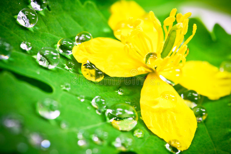 Water drops. With yellow flower royalty free stock photography