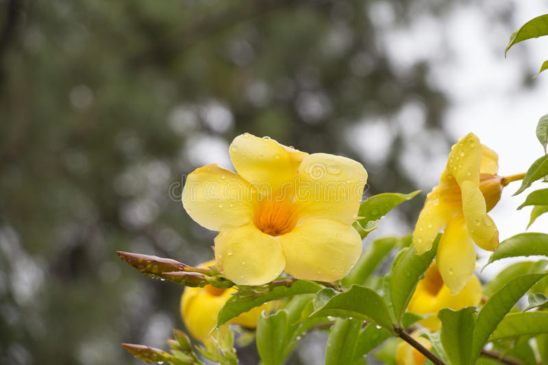 Water drops on yellow flower. Golden trumpet flower. Allamanda cathartica. stock photo