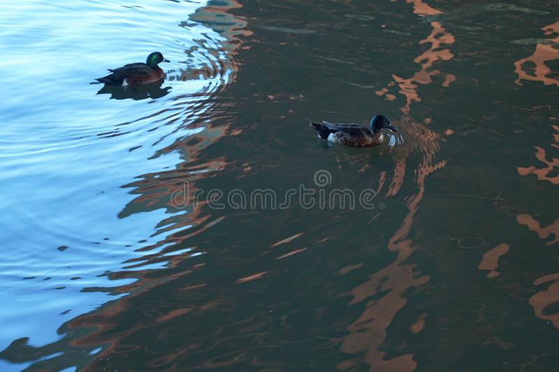 Water, Duck, Fauna, Water Bird royalty free stock photos