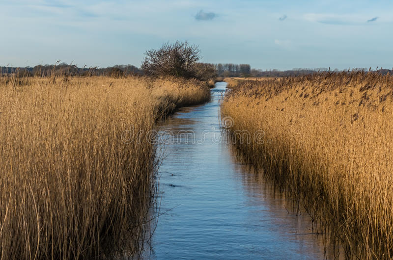 Water filled drainage edged with Norfolk reeds under a blue royalty free stock image