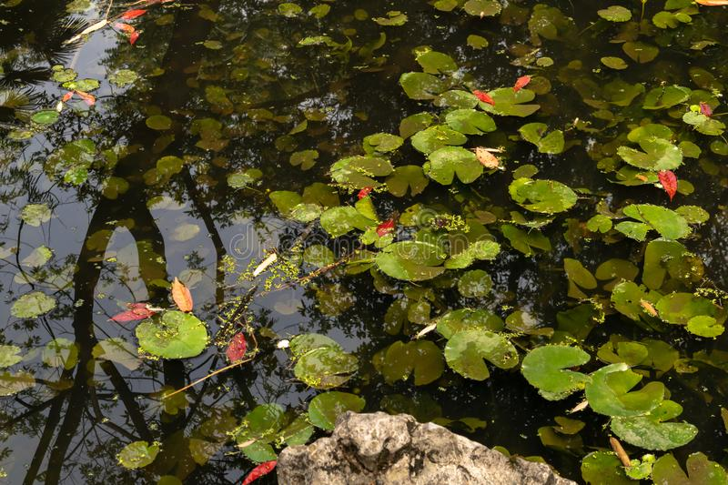 Lemna minor-The water floating plant stock photos