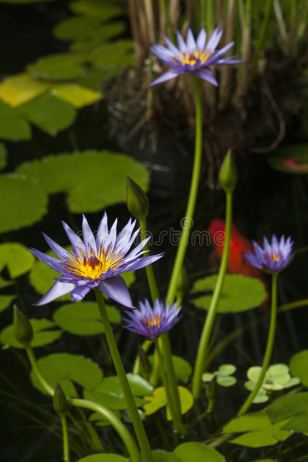Water Flowers stock image