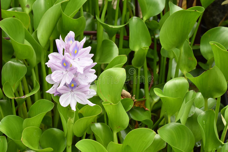 Water flowers with purple petals. Water flowers with pale purple petals among green leaves stock image