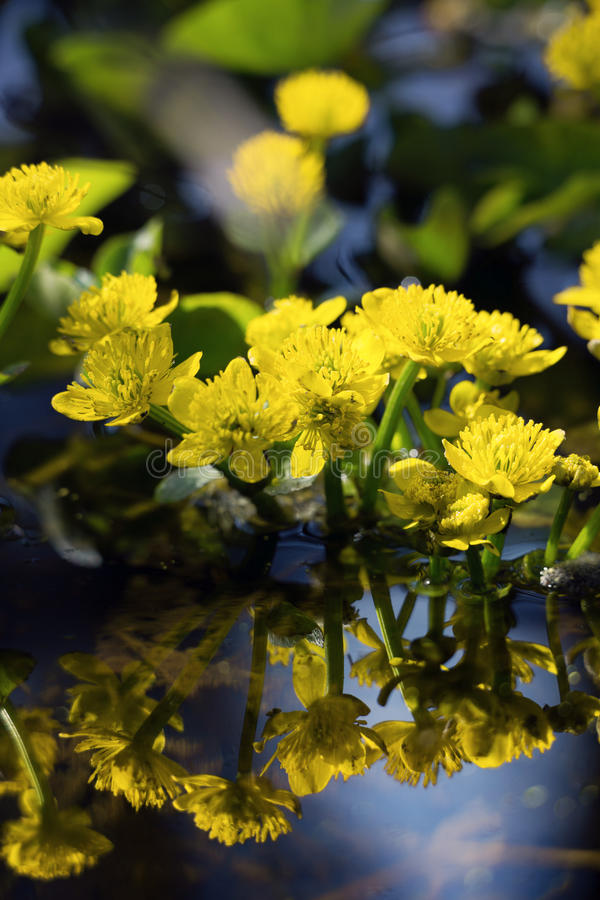 Water flowers. Spring flowers in the stream stock photography
