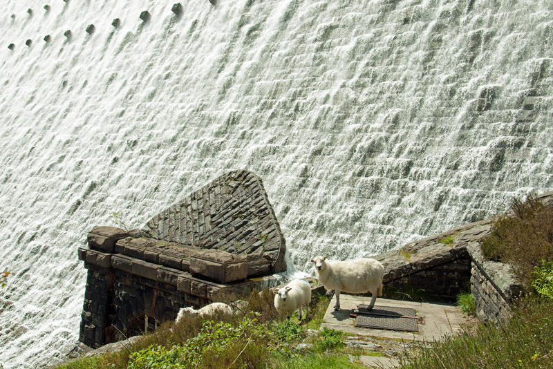 Water flowing over the dams of the Elan valley of Wales. A view of waters flowing over the dams in the Elan valley of Powys, Wales. Plus a few sheep looking royalty free stock image