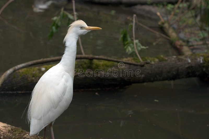 Download Water Fowl stock photo. Image of white, ibis, fowl, feed - 39392