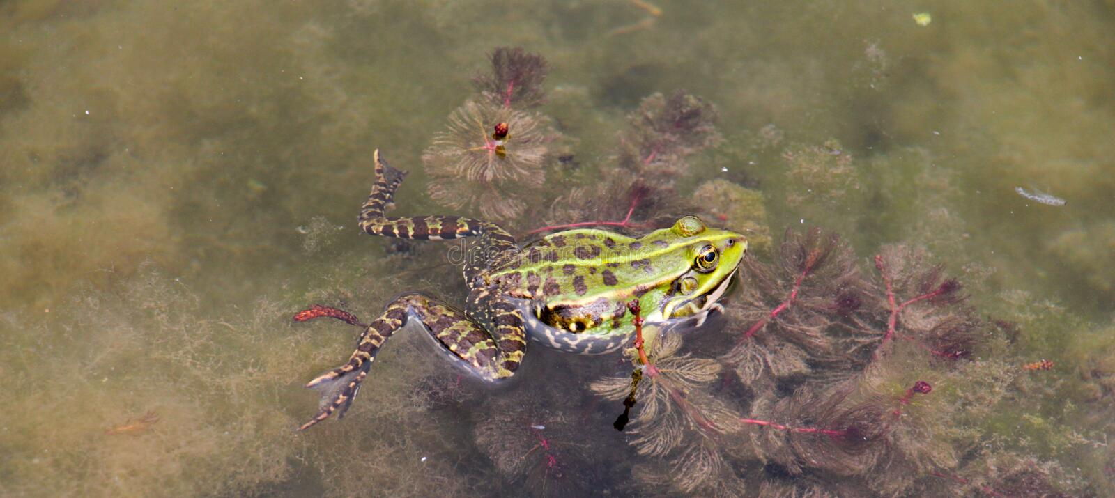 Water frog ,animal theme,. Water frog ,animal and biology theme,image of a stock photography