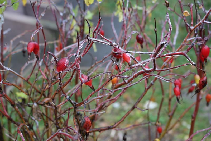 Water froze on a wild rose after rain. Berries and leaves are covered with ice stock photo