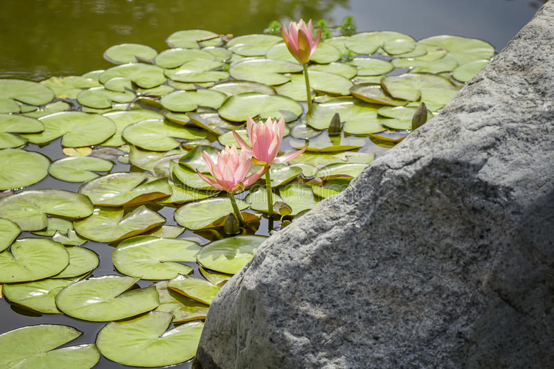 Water Garden. Large Rock Surrounded by Lily Pads in a Water Garden royalty free stock photo