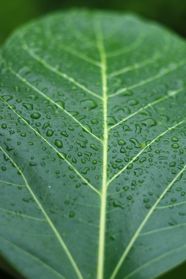 water on green banyan leaf stock photo