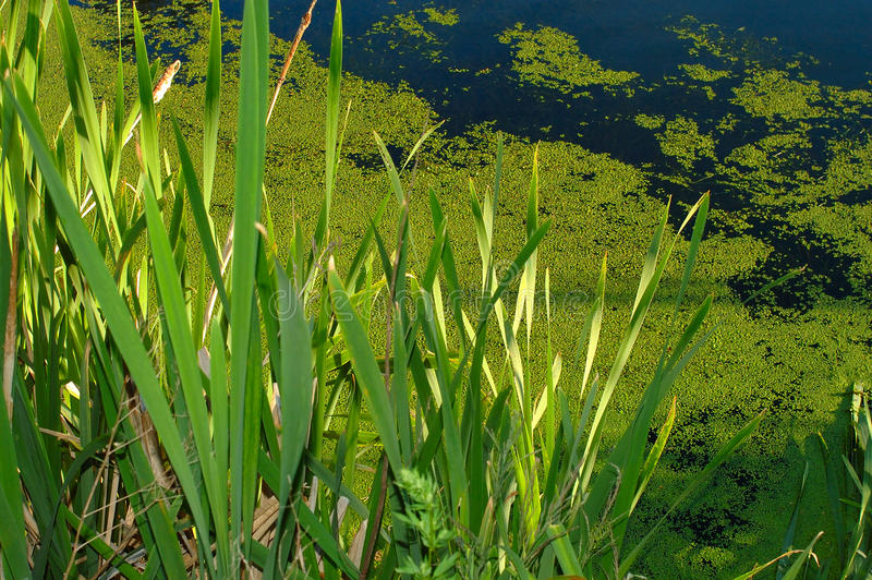 Download Water, Green Grass And Duckweed. Stock Image - Image: 10958563