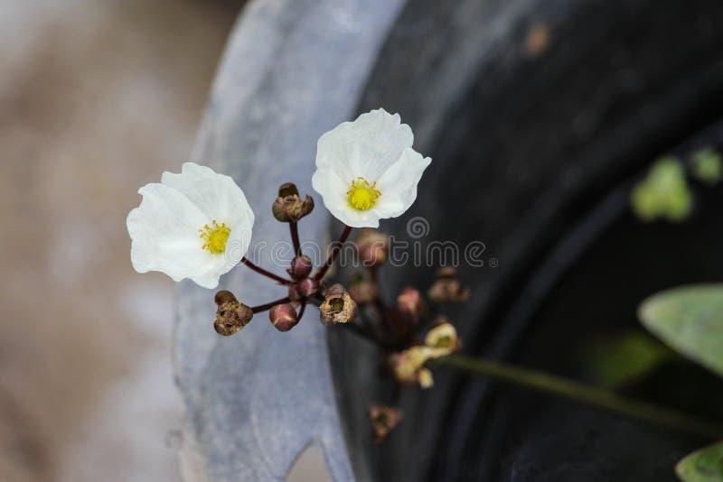 Reeling Burhead white flowers on aquatic plant stock photos