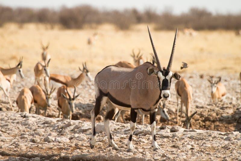 Water hole Etosha. Springbok and Gemsbok in Water hole, Etosha Namibia royalty free stock images