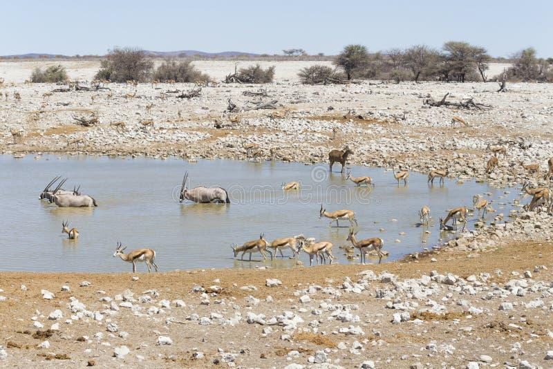 Water hole in Etosha National Park, Namibia royalty free stock image