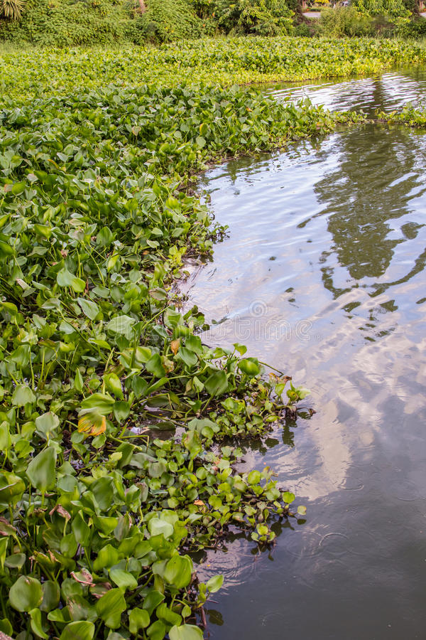Free Water Hyacinth Stock Photography - 43424612
