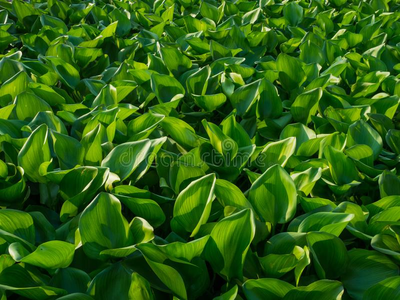 Water Hyacinth cover the pond. Close up green leaf texture background. Photo concept pattern beautiful tropical nature.  royalty free stock photos