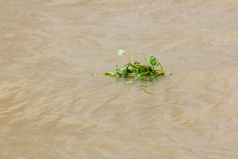 Water Hyacinth floating in the river stock photography