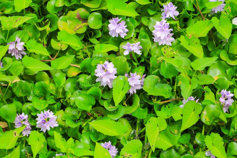 Water hyacinth flower in natural beautiful background.  stock photography