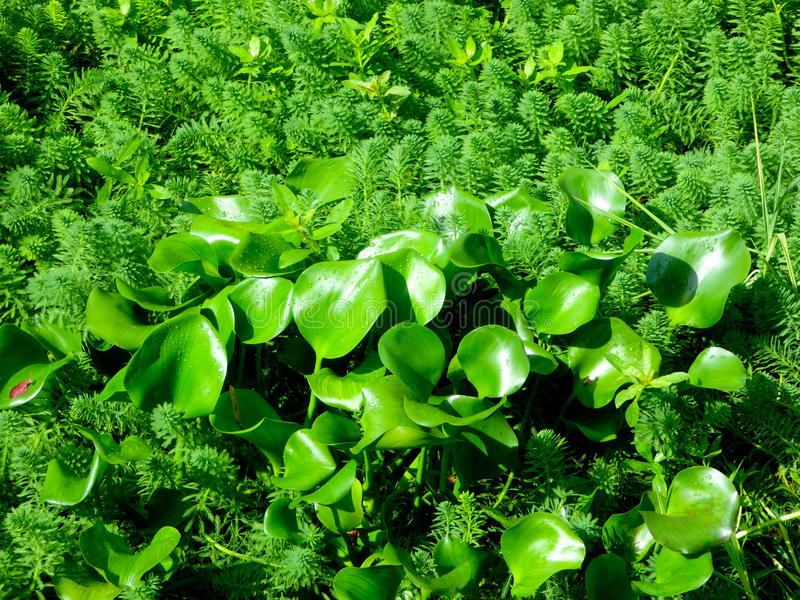 Water hyacinth inside water milfoil stock photography