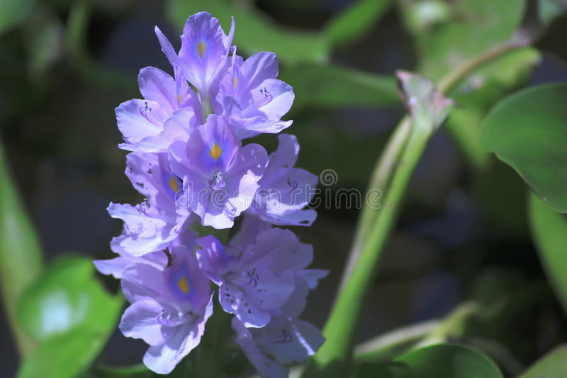 Water hyacinth. Many water plants are biennial, age, season. In all water conditions. Originated in the Amazon countries, Brazil Interest in South America. Light royalty free stock image