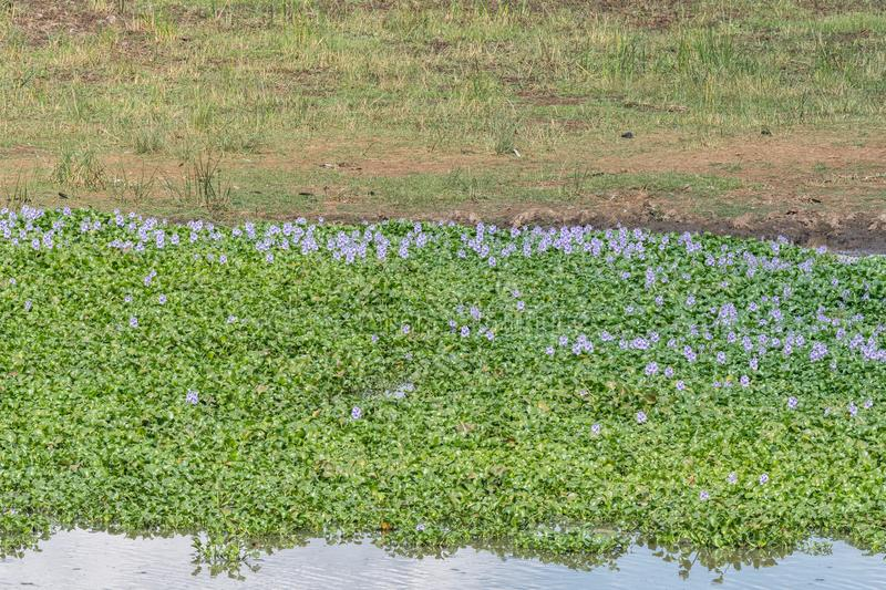 Water hyacinth plants, an invasive weed. Water hyacinth plants, Eichhornia crassipes, an invasive weed in the Letaba River royalty free stock image
