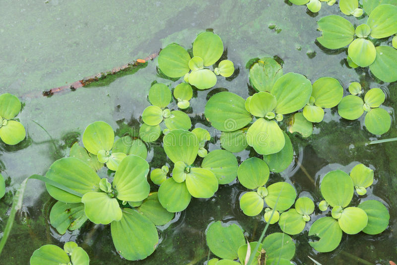 Water hyacinth in pond stock photo