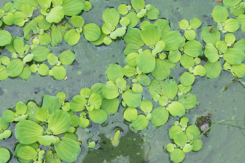 Water hyacinth in pond royalty free stock photo