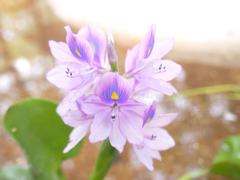 Water Hyacinth. Purple flowers of Water Hyacinth stock image