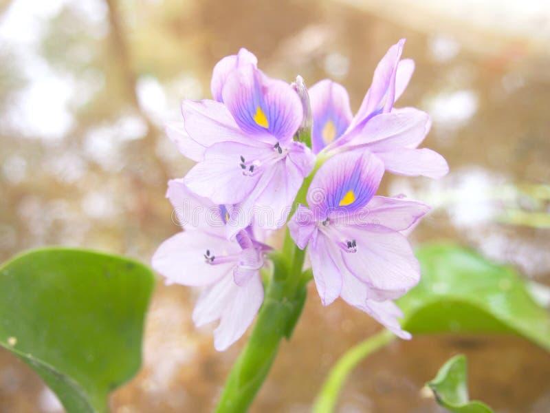 Water Hyacinth. Purple flowers of Water Hyacinth stock photography