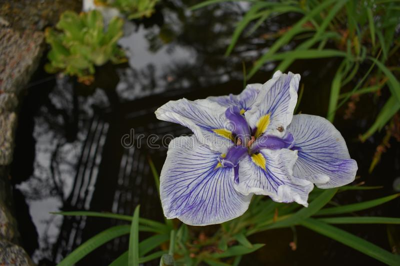 Purple and White Water Iris. This water iris is in full bloom. This one is in a garden  pond stock images