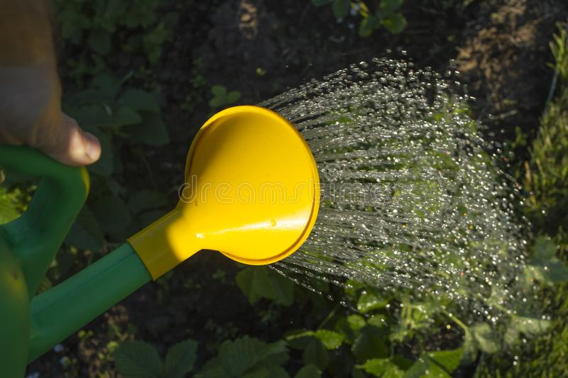 Water jets over strawberry bushes. Time to water strawberries. garden tools. Bushes of strawberries, a green watering can, grow a berry, a summer residence, a royalty free stock images