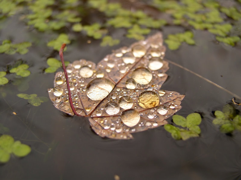 Download Water on leaf on water stock image. Image of leaf, leaves - 42375