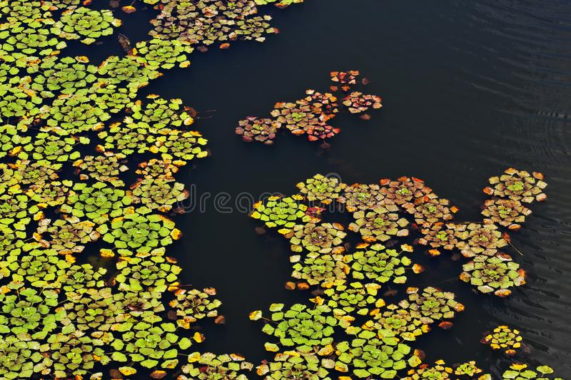 Download Water Leaves stock photo. Image of leafs, nature, floral - 20541292