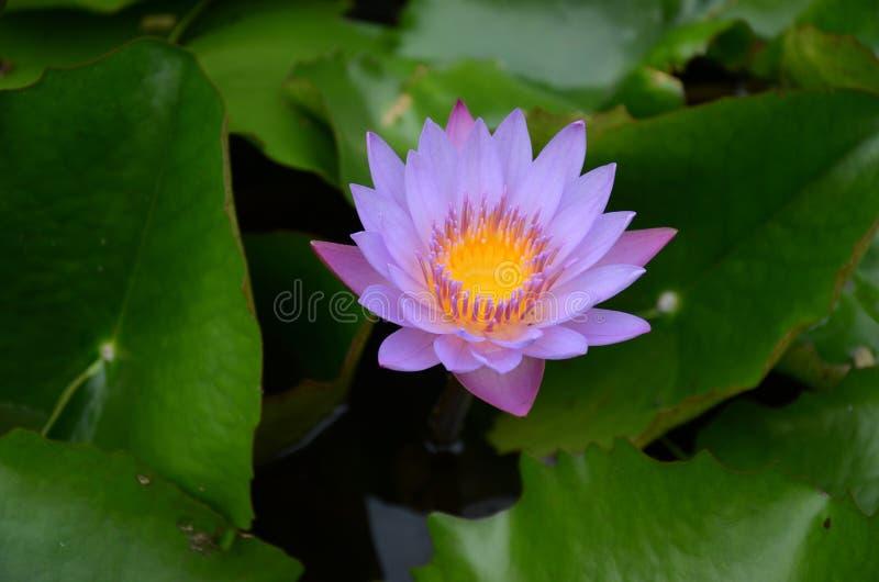 Water lili stock photography