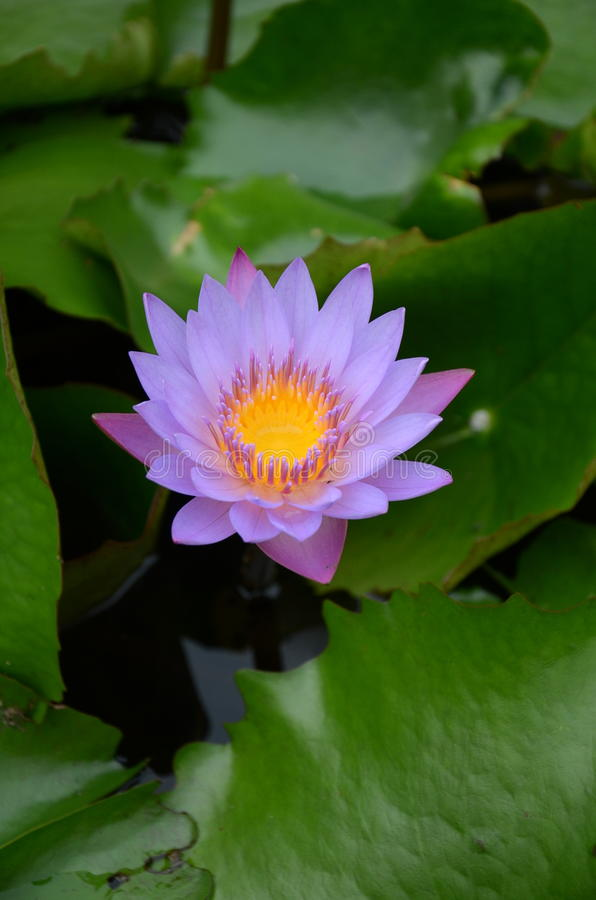Water lili royalty free stock photo