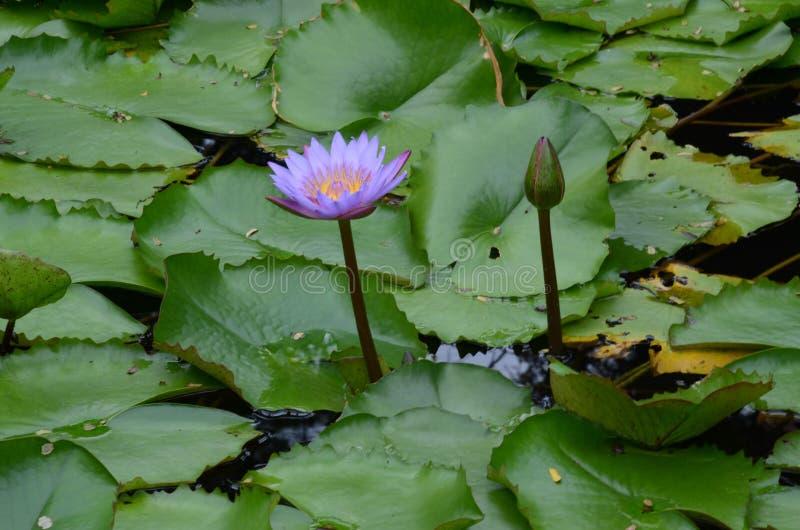 Water lili royalty free stock photos