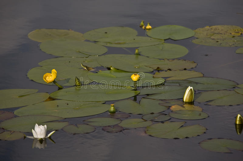 Water lilies. White and yellow water lilies stock photo