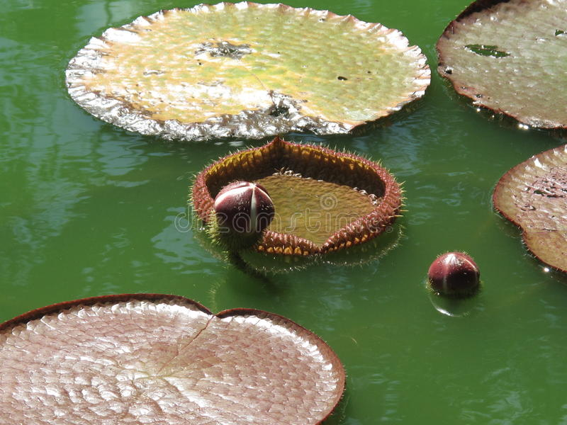 Download Water lilies stock image. Image of outside, nymphaeaceae - 11139215
