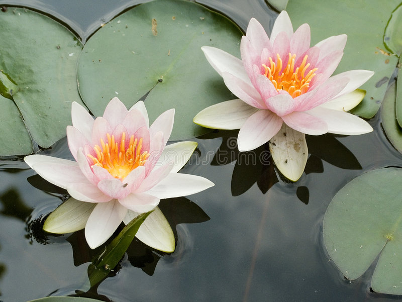 Water lilies. Two water lilies on still water stock photo