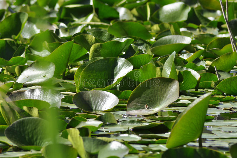 Download Water lilies stock photo. Image of nymph, blossom, mirroring - 24509308