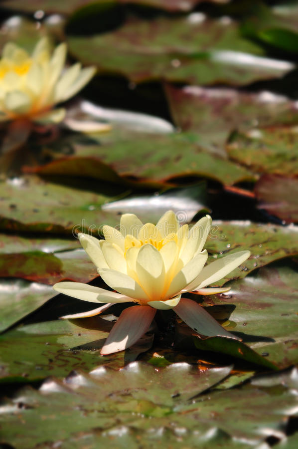 Water Lilies. White water lilies on a lake in the sunshine royalty free stock photo