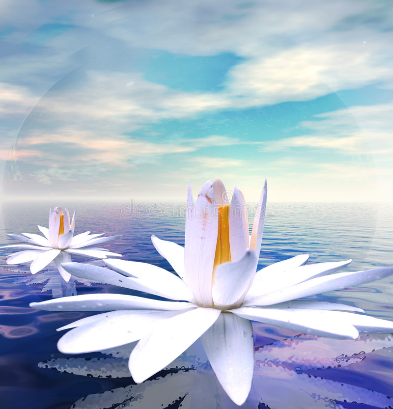 Water lilies. White lotus flower reflected on tranquil waters