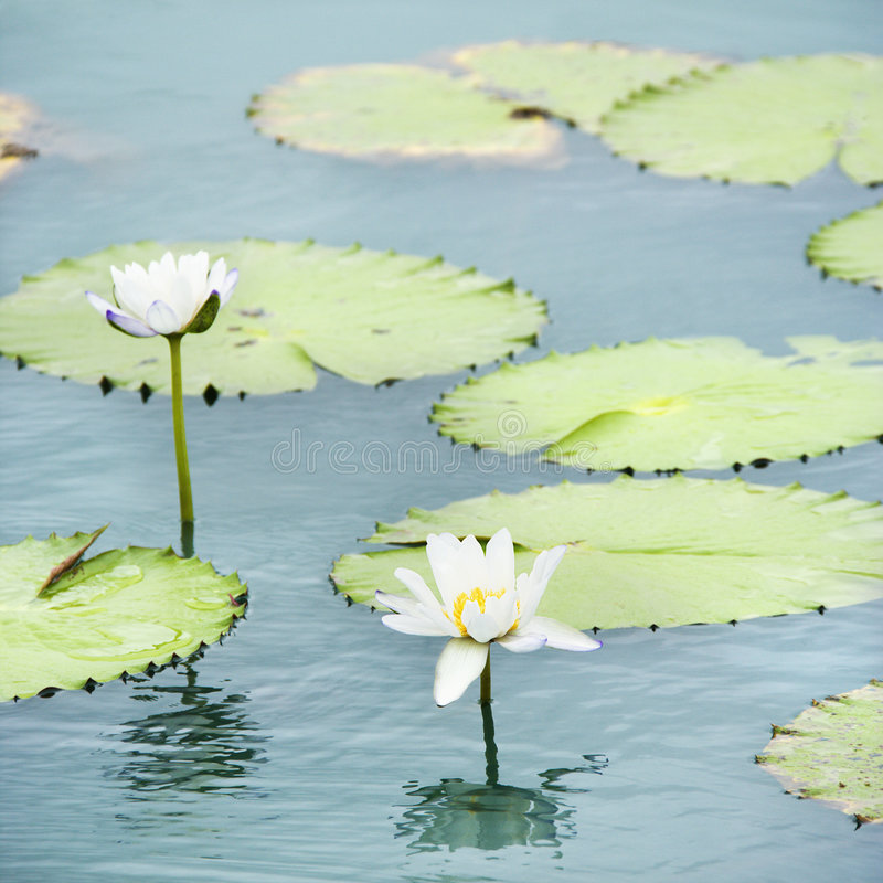 Water lilies. Water lilies floating in water with white blossoms stock photo