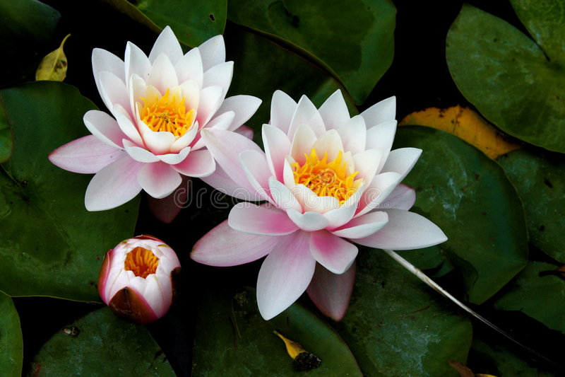 Download Water lilies stock image. Image of blooming, outdoor, water - 5616417