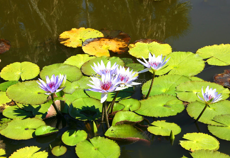Download Water Lilies Royalty Free Stock Image - Image: 77166