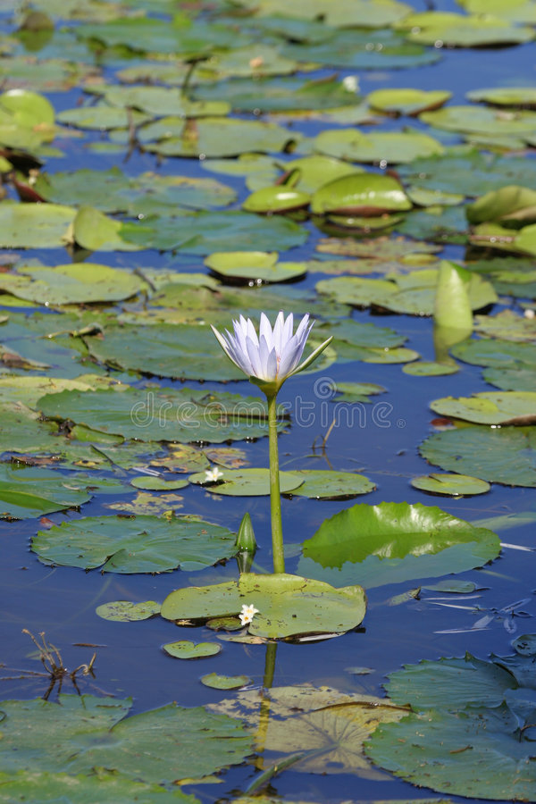 Download Water Lilies Stock Photo - Image: 814630