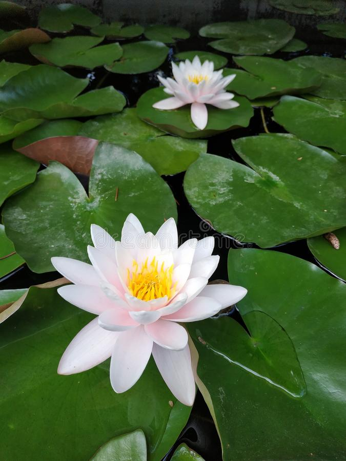 Water lilies. Absolutely stunning delicate white flowers. Water lilies are delicate delicate flowers royalty free stock photos