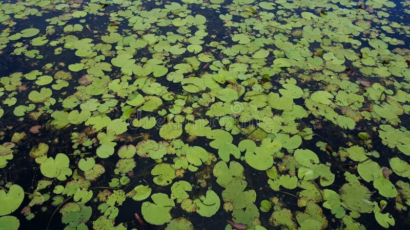 Water lilies in Australia stock photo