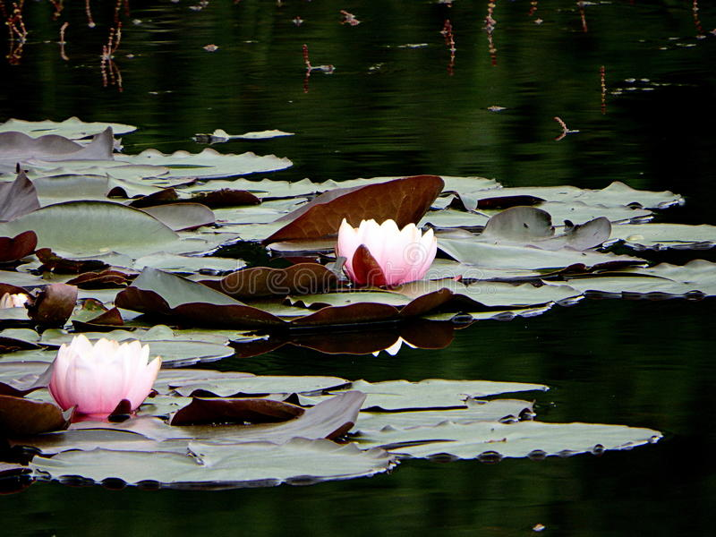 Water lilies. Beautiful flowering water lilies on a pond in white and pink color royalty free stock photo